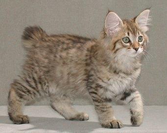Pisica American Bobtail
