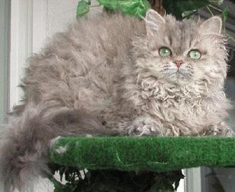 Selkirk Rex - carliontata lumii feline