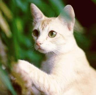 Pisica Ceylon - gratia din Sri Lanka