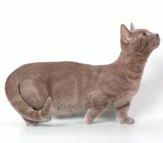 Rasa Munchkin - pitica lumii feline