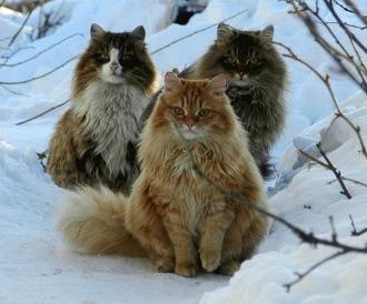 Norvegiana de padure - pisica vikingilor