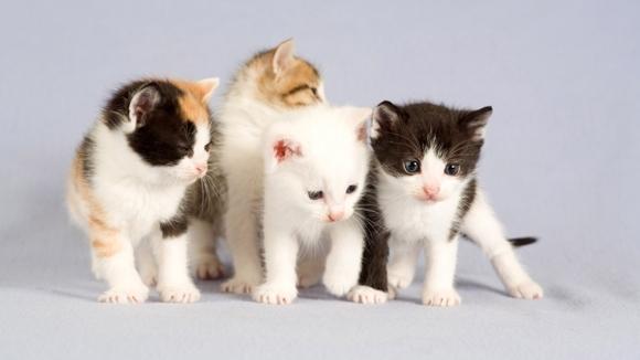 Cele mai afectuoase rase de pisici