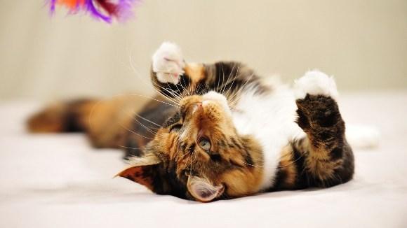 Pisicile calico – un dar de la Natură