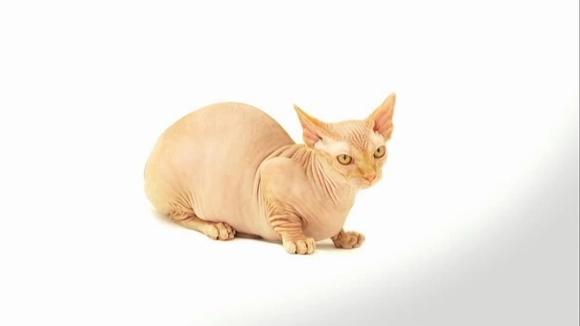Bambino – cea mai specială pisică din lume