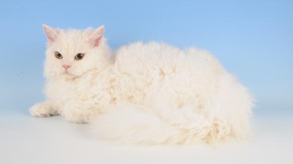 Rase de pisici cu părul creț