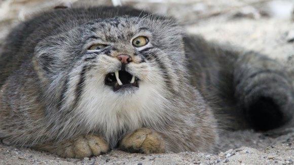 Talent actoricesc la superlativ: cea mai expresivă pisică din lume - Galerie Foto