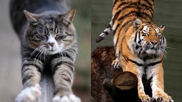 10 lucruri pe care le au în comun pisicile domestice şi cele sălbatice