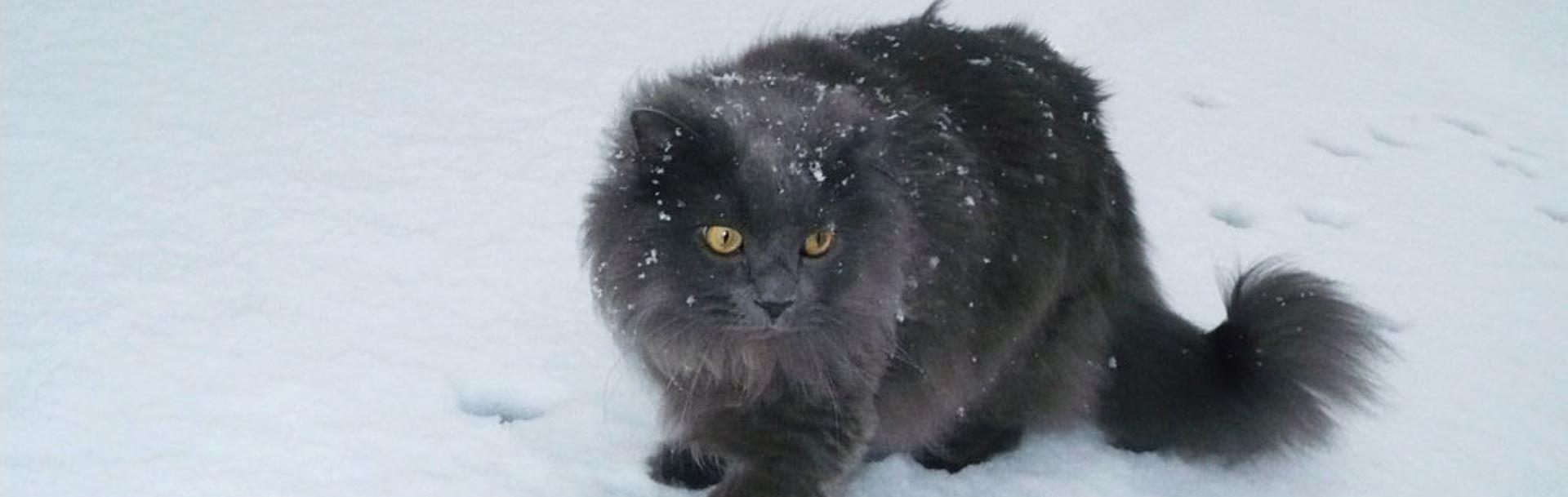 Pisica din rasa Chantilly (sau Tifanny) – caracteristici, îngrijire şi sănătate