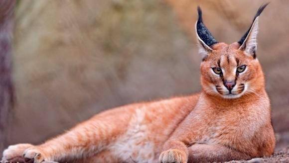 Pisici neobişnuite: caracal sau linxul african