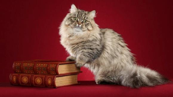 Pisica Napoleon sau Minuet – mâţa cu faţă de păpuşă