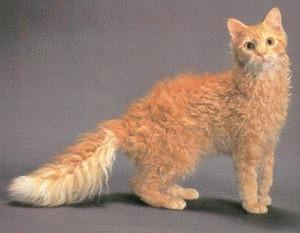 Pisica rasa LaPerm