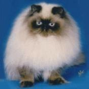 Pisica rasa Himalayana