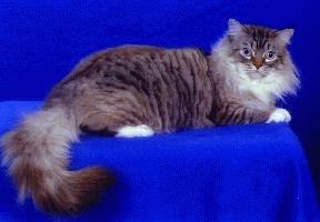 Pisica rasa RagaMuffin