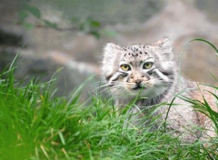 Pisica Pallas (Otocolobus manul)
