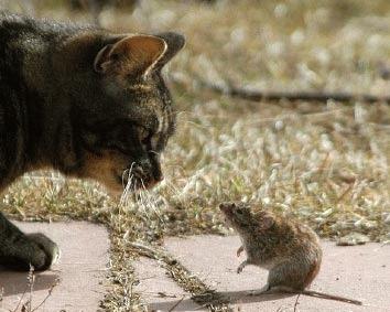 De ce se joaca pisicile cu prada?
