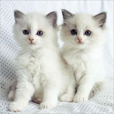 Bolile de piele la pisici