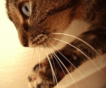 Mustatile - radarul pisicilor