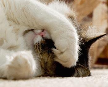 Ghemotoacele de par - blestemul pisicilor