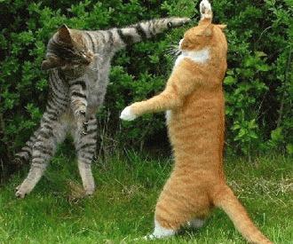 Agresivitatea intre pisici