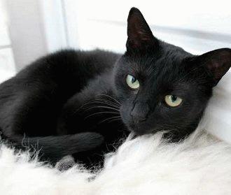 Pisica neagra - intre misticism si adoratie