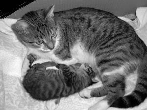 Nasterea la pisica: Cand trebuie sa chemam veterinarul?