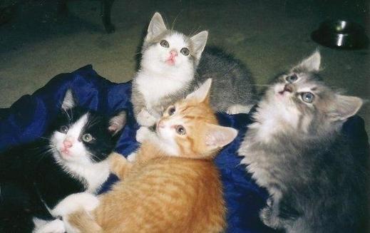 Gestatia si fatarea la pisica