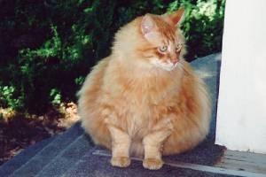 Pisica mea este grasa. Este acesta un lucru grav?