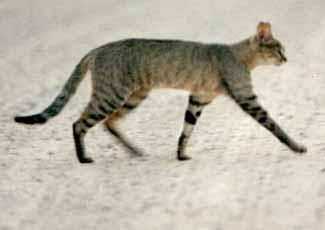 Pisicile salbatice din Africa