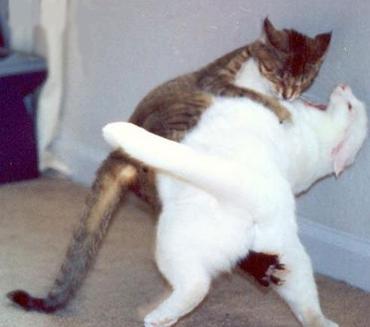 Primul ajutor in cazul in care pisica dumneavoastra este muscata de o alta pisica