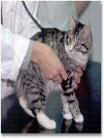 Examinarea pisicii