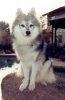 Husky pitic (Klee Kai de Alaska)