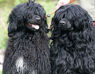 Cainele de apa portughez (Portuguese water dog)