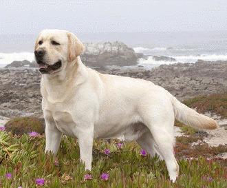 Curiozitati despre Labrador Retriever