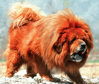 Mastifful Tibetan – vigoare de pe acoperisul lumii