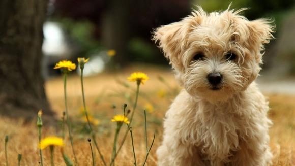 Rase de câini cărora nu le cade părul
