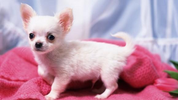 Chihuahua – personalitate, îngrijire şi sănătate (II)