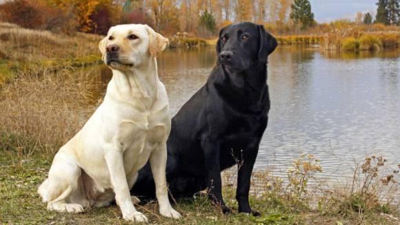 Labrador Retriever – istoric și aspect fizic
