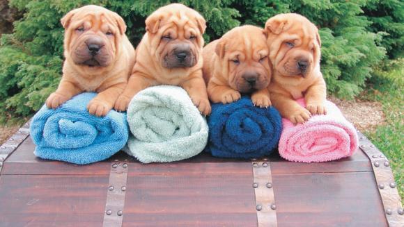 14 cele mai vechi rase de câini