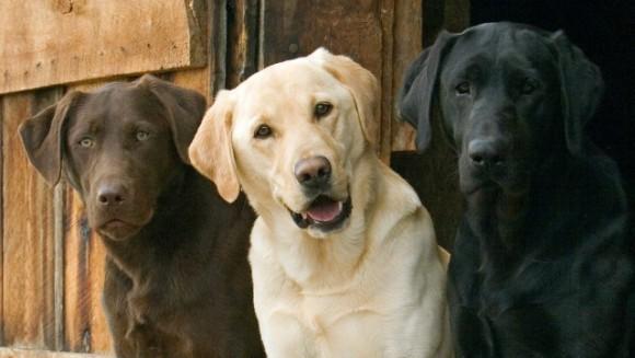 Labrador Retriever – personalitate, îngrijire și sănătate