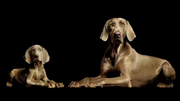 Top 10 cele mai elegante rase de câini din lume