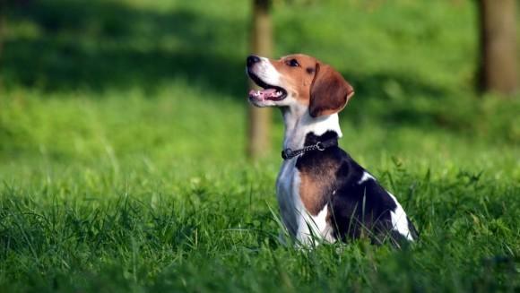 25 de lucruri interesante despre Beagle