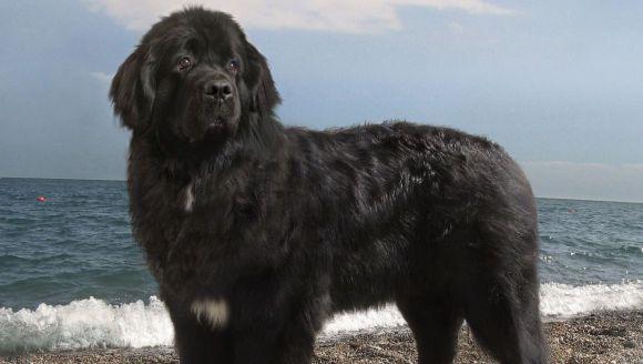 Câinele Terra Nova (Newfoundland) – istoric, personalitate și îngrijire