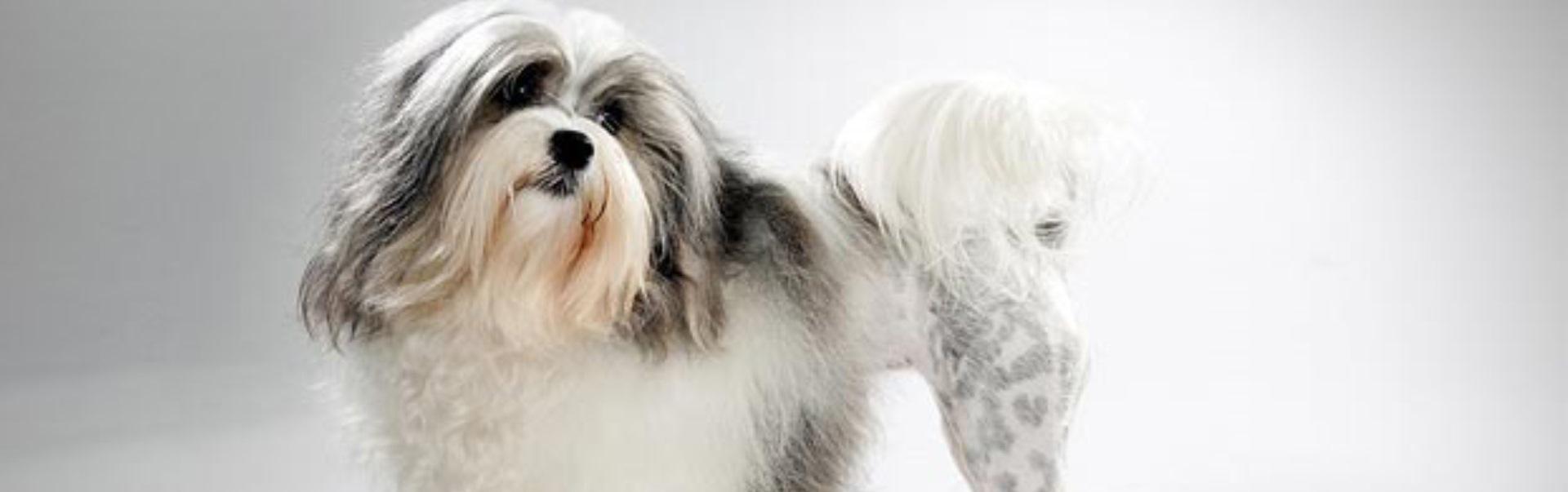 Câinele din rasa Lowchen – caracteristici, personalitate şi îngrijire