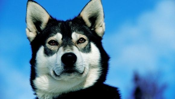 15 reguli de aur pentru o viață reușită, de învățat de la câinii husky
