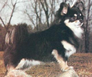 Chihuahua cu par lung