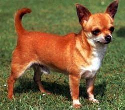 Chihuahua cu par scurt