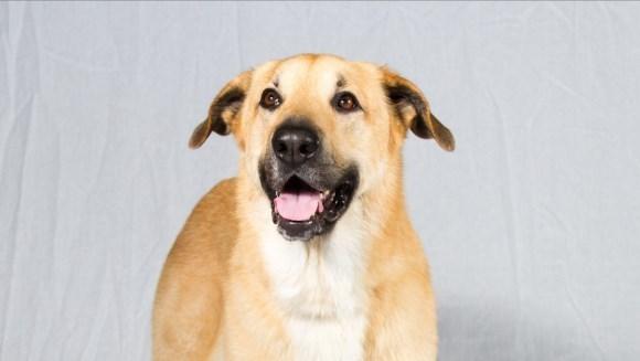 Chinook, una dintre cele mai rare rase de câini din lume – caracteristici, îngrijire şi sănătate