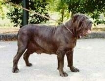 Mastiff Napoletan