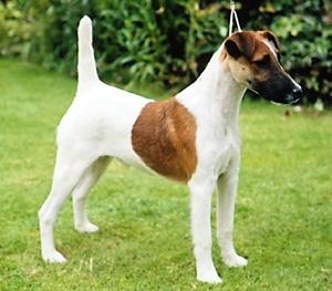Fox Terrier cu blana intinsa