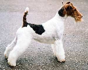 Fox Terrier sarmos